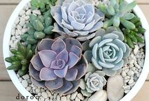 sukkulenten/cactus