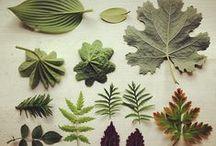 Herbarium/Lavender/Botanique