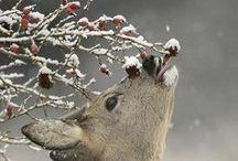 Reh & Reebok & Hert & Roe deer & Huid - Anders Style