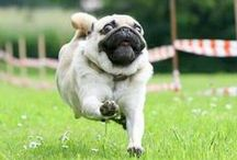 Pugs for Anna