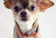 Chihuahuas / I love my chihuahuas! I've got two little blondies! / by Jamie Krein
