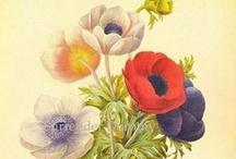 Pierre-Joseph Redouté  (1759 - 1840) / Пьер-Жозе́ф Редуте́ (фр. Pierre-Joseph Redouté, 10 июля 1759 года — 19 июня 1840 года) — французский художник и ботаник бельгийского[1] происхождения, королевский живописец и литограф, мастер ботанической иллюстрации[2].