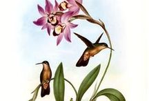 Rafael Montes de Oca / Montes de Oca Rafael.  Hummingbirds and Orchids of Mexico  Hummingbirds and Orchids of Mexico StudioBotanika is pleased to present these beautiful prints from a rare limited edition of Hummingbirds and Orchids of Mexico, based on the original watercolors painted by Rafael Montes de Oca from 1874 to 1878. http://www.studiobotanika.com/product-list.php?pg1-cid64.html