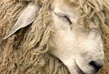 Art - Lambs,  Sheep, / by Trudy Allen