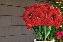 Amaryllis: The most popular holiday gift plant! / Amaryllis are becoming increasingly popular due to their affordability, variety of colors, and for how easily they bloom indoors. If you live in a tropical climate (zones 9-10), Amaryllis will grow in your garden; everyone else can enjoy their gorgeous blooms and attractive strap-like foliage right in their homes! Amaryllis bulbs are very easy to grow, blooming 4-6 weeks after they're planted and flaunting flowers in shades of white, red, pink, salmon, orange, and many more for 7-10 weeks! / by Park Seed