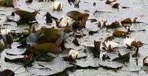 Lotus / Luctor et emergo