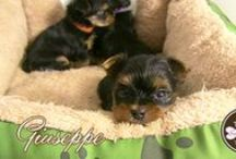 ❤ Sugar-Rush Yorkies ❤ / Our puppy loves.