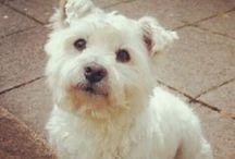 Toddy  Toodz Petrie / My little west highland terrier. Aged 12 now, but still so cute and full of life. Luv him  <3