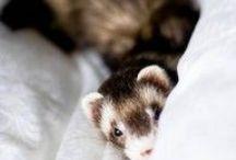 Correction. I has a Ferret!!!! / Fellow Ferret Fans
