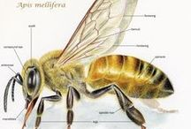 Bees - Fun Facts / I'm a beekeeper in Ontario Canada and I love bees.  I hope you enjoy these tidbit facts about them.  Spread the word, and plant flowers!