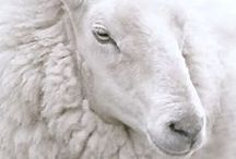 Fibre - Animals / Endearing and inspirational images of our fibre friends, from sheep, alpacas and angora goats to unusual and exotic animals such as mink, bison, muskox and dog hair.  Animals are not harmed to obtain their fibre.