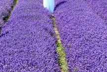 Lavender / Flowers
