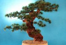 Bonsaje / bonsai