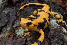 Reptiles, Lizards, Snakes, Salamandars / photos of reptiles, lizards, snakes, and other creatures from around the globe