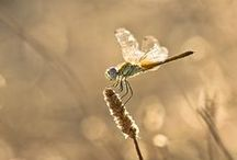 Dragonflies / Dragonflies are quite simply winged marvels. I miss them in the winter