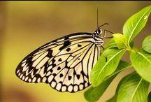Butterflies / Butterflies Macro