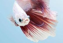 Betta Fish / All about the infamous, yet virtuous Betta fish!