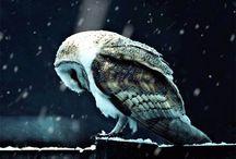Owls / Birds of Prey