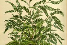 Antique Botanicals - Ferns / Hand Coloured Botanicals