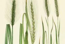 Antique Botanicals - Grasses / Hand Coloured Antique Botanical Prints