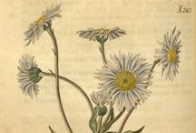 Antique Botanical Prints / Hand Coloured Flower illustrations
