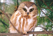 Owls / Owl photos, paintings, illustrations, etc...     / by dachweiler