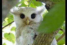 Gufi e civette, owl, hibou, κουκουβάγιες / Gufi e civette, simpatici uccelli notturni, da sempre connotati come simbolo di saggezza.