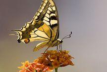 Leggerezza di farfalle / Pin di farfalle