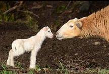 Salt Spring Lambs & Sheep