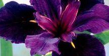 Dark purple flawers / Dark purple flawers Kwiaty w kolorze ciemnego fioletu
