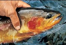 GOLDEN TROUT / Beautiful pictures of the golden trout in the high country were fly fishing is good!