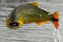 GOLDEN DORADO / Fly fishing for Golden Dorado.  Golden Dorado on the fly.