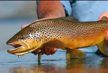 BROWN TROUT / Fly fishing for brown trout.  Brown trout on the fly.