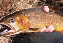 SNAKE RIVER CUTTHROAT / Some nice pictures of the Snake River Cutthroat and fly fishing for the Snake River Cutthroat.