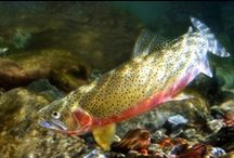 WESTSLOPE CUTTHROAT / Photos of the beautiful westslope cutthroat and fly fishing for westslope cutthroat.
