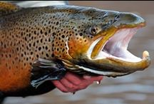BROWN TROUT (ANADROMOUS) / Large anadromous brown trout.  Fly fishing for anadromous brown trout and brown trout on the fly.