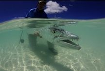 BARRACUDA / Pictures of barracuda with some pictures of people fly fishing for barracuda.  Barracuda on the fly.