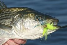 STRIPED BASS / Stripers on the fly.  Striped bass on the fly.  Striper fly fishing.  Striped bass fly fishing.