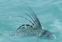 ROOSTER FISH / Fly fishing for rooster fish.  Rooster fish on the fly.
