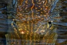 NORTHERN PIKE / Fly fishing for Northern Pike.  Northern Pike on the fly, and Northern Pike biology.
