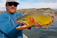 YELLOWSTONE CUTTHROAT / Fly fishing for Yellowstone cutthroat.  Yellowstone cutthroat on the fly.