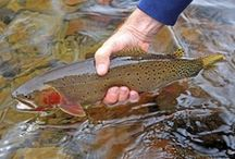 BONNEVILLE CUTTHROAT / Fly fishing for Bonneville cutthroat.  Bonneville cutthroat on the fly.