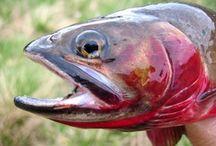 GREENBACK CUTTHROAT / Greenback cutthroat trout on the fly.  Fly fishing for greenback cutthroat trout.
