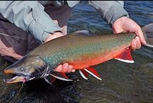 """DOLLY VARDEN / Fly fishing for dolly varden, sometimes called arctic char.  Dolly varden on the fly.  It is extremely difficult to distinguish between arctic char and dolly varden, and the differences are sometimes established genetically (see Behnke's """"Trout and Salmon of North America"""", pgs. 303-322)."""