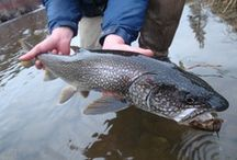 LAKE TROUT / Lake trout fly fishing.  Lake trout on the fly.
