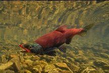KOKANEE SALMON / Kokanee salmon fly fishing.  Kokanee salmon on the fly.