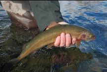 WHITEFISH / Fly fishing for whitefish or at least catching them.  Whitefish on the fly.