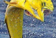 DORADO (DOLPHIN FISH)