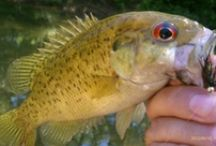 ROCK BASS / Rock bass on the fly.  Fly fishing for rock bass.