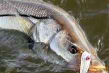 SNOOK / Snook on the fly.  Fly fishing for snook.